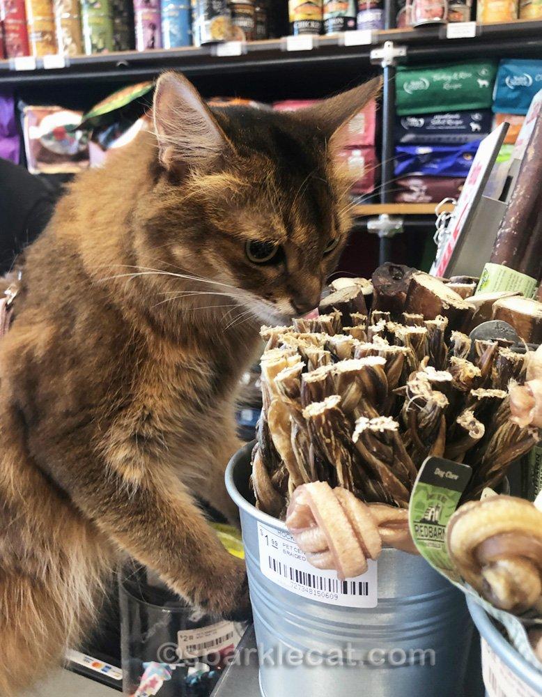Un chat somalien reniflant un chien à mâcher au comptoir de l'animalerie