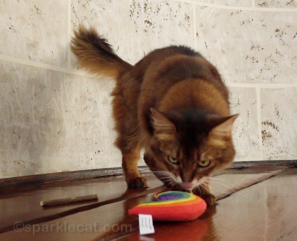 somali cat licking catnip toy