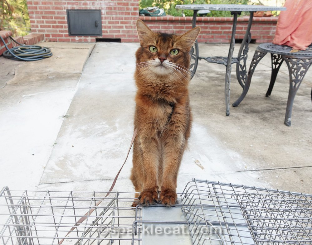 Summer explores the TNR cat trap that's left over for the next member of the outside cat family.