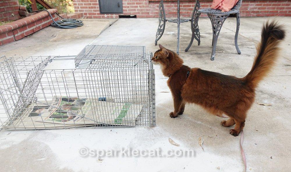 Somali cat on leash examining cat trap