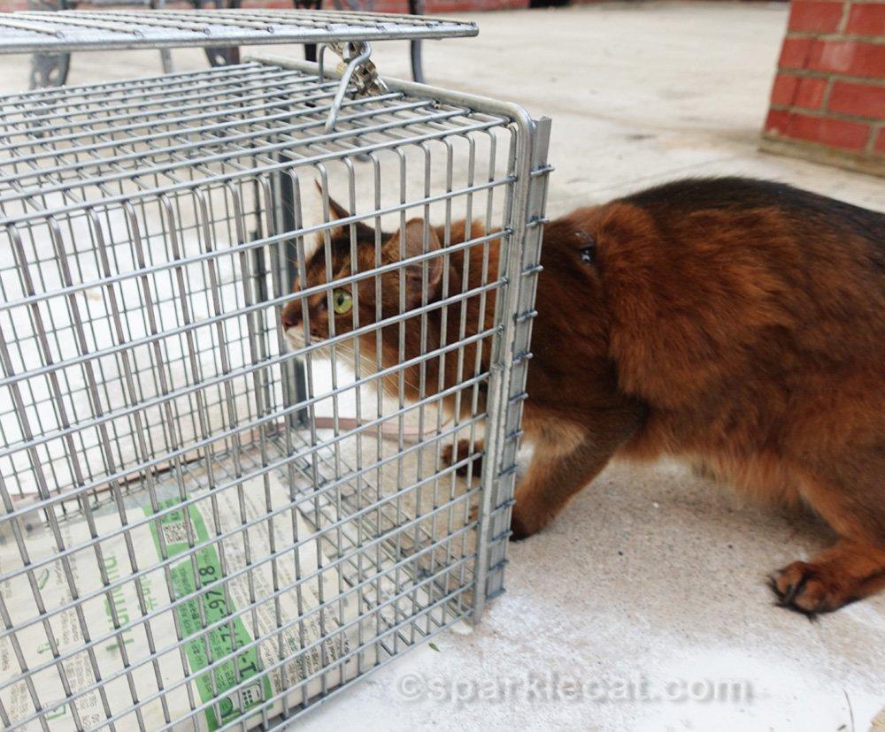 Somali cat looking inside cat trap