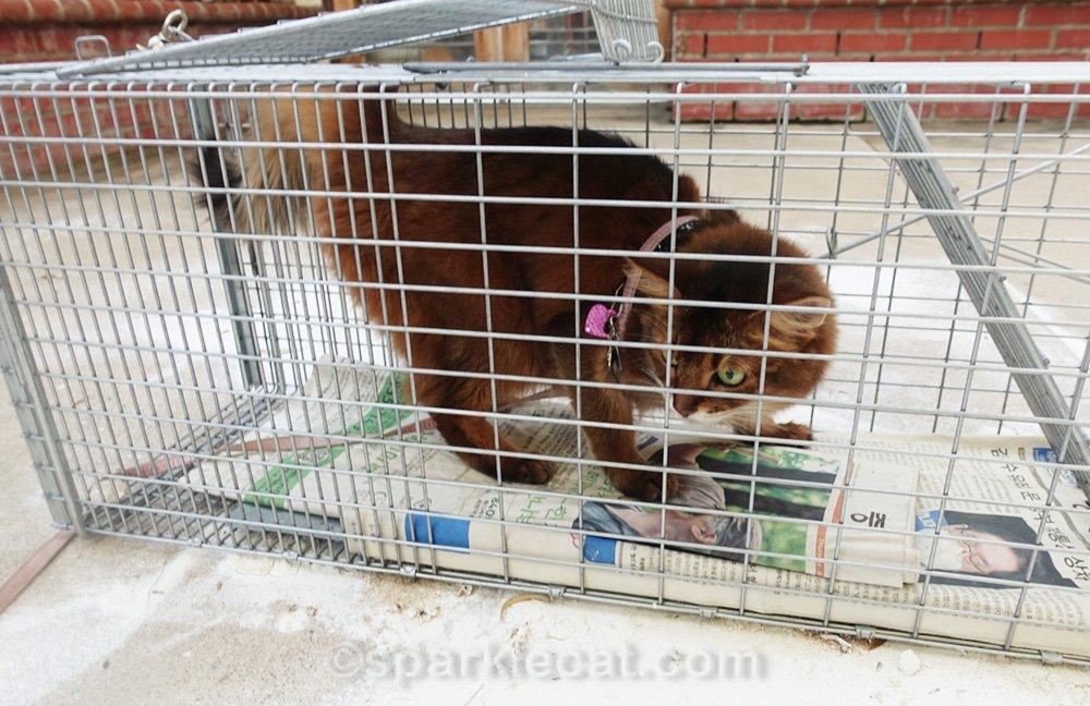 Somali cat inside cat trap
