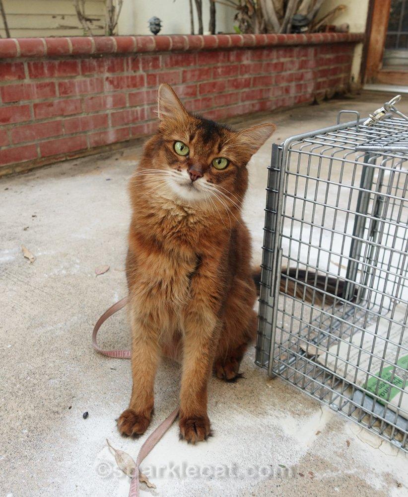 Somali cat sitting next to TNR cat trap