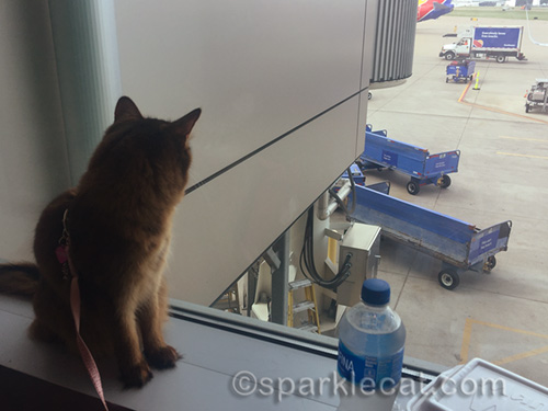 somali cat looking out gate window at airplanes