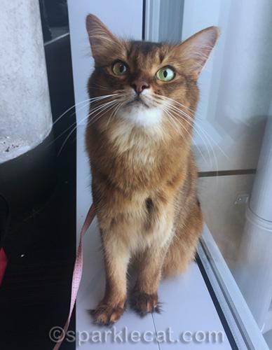 somali cat in airport looking cute