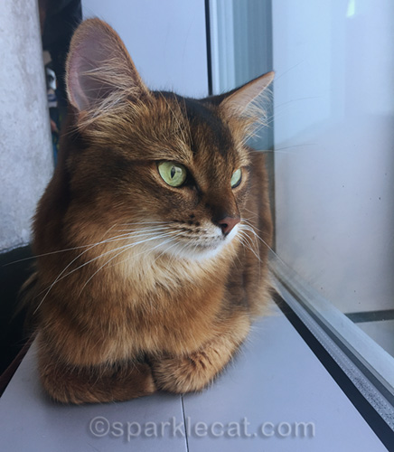 somali cat in airport, sitting on window sill
