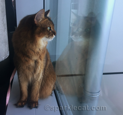 somali cat looks at self in window