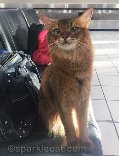 somali cat at baggage claim