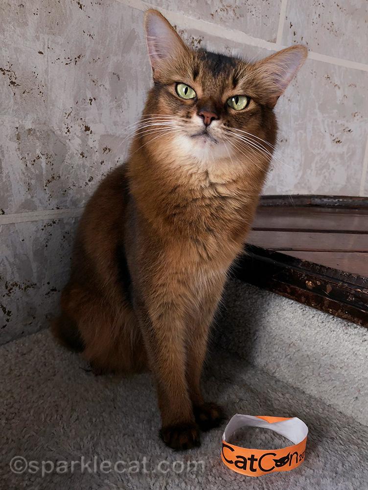 somali cat with CatCon wristband