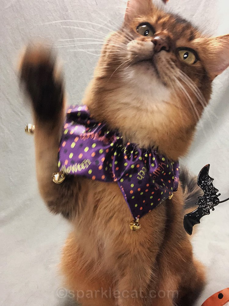 somali cat in halloween collar, reaching for iPhone