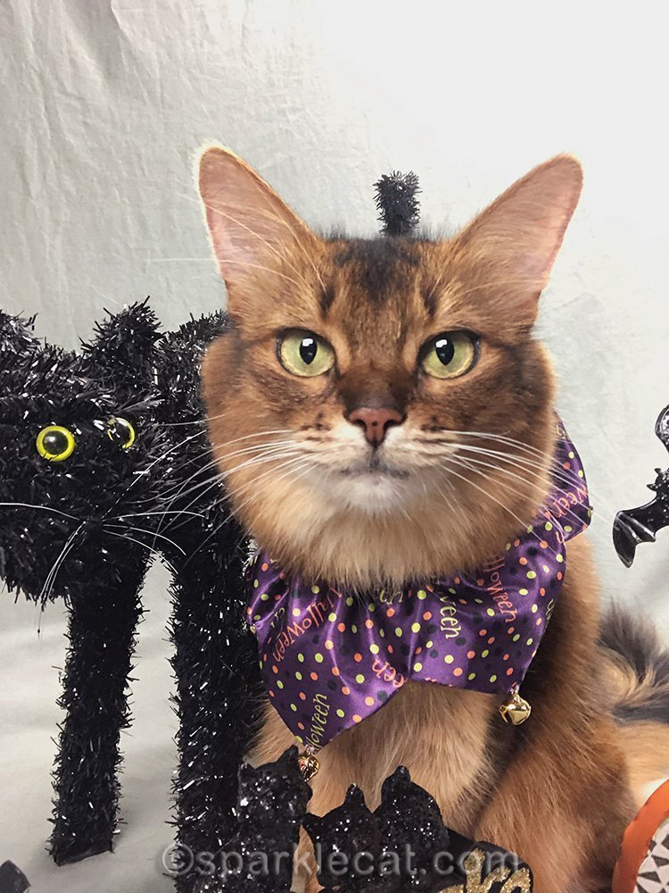 somali cat being photobombed by black Halloween cat