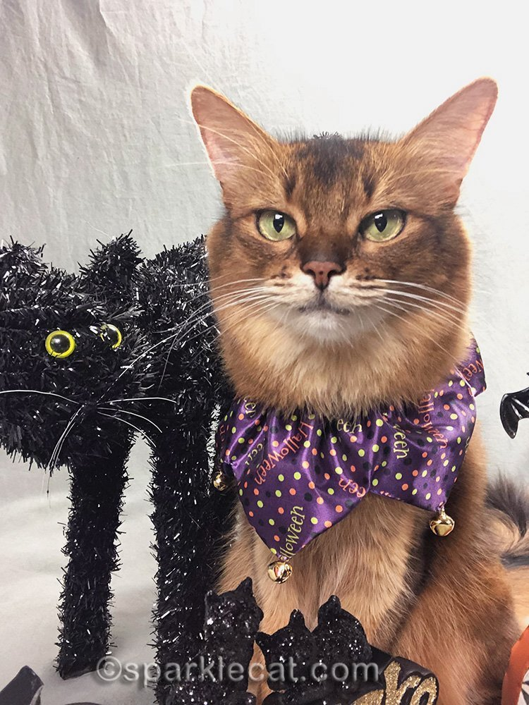 somali cat selfie with fake black halloween cat