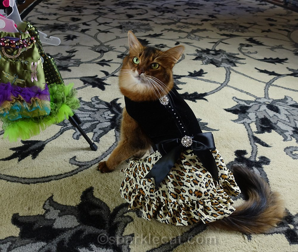 somali cat wearing black velvet and leopard print formal dress