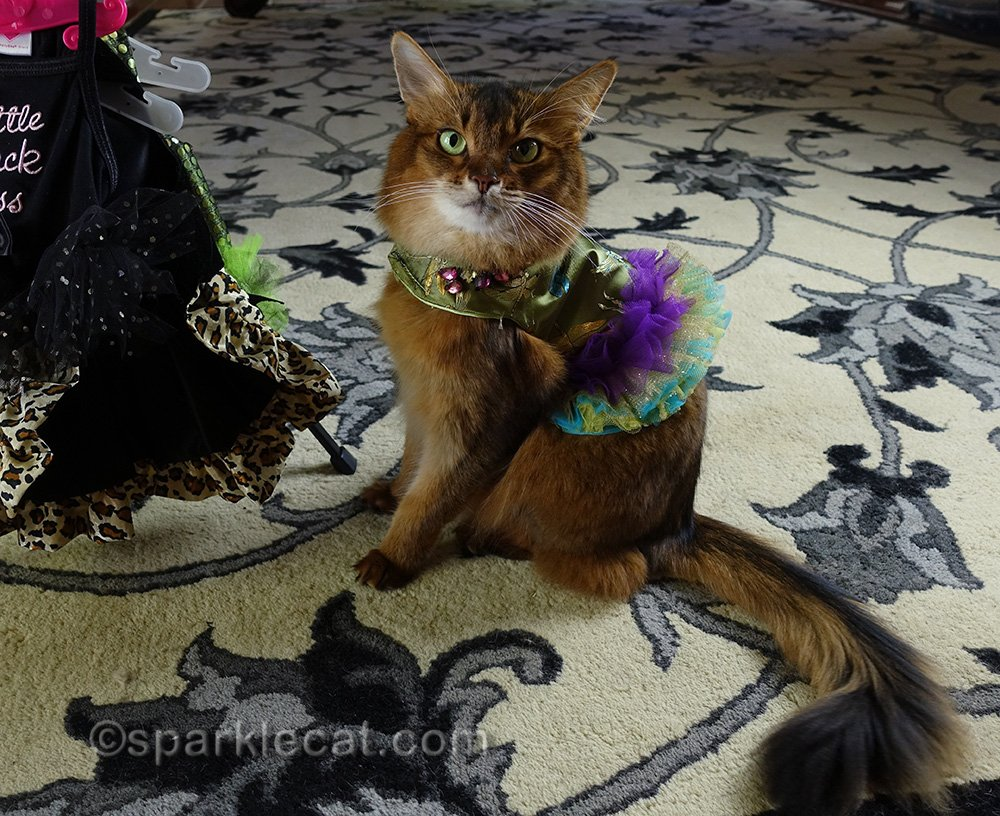 somali cat wearing short pretty green and purple dragonfly dress