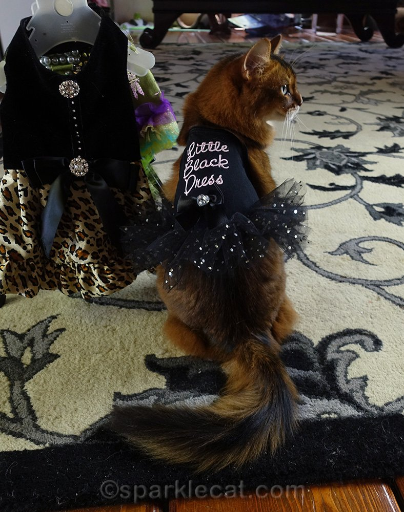 somali cat wearing little black dress