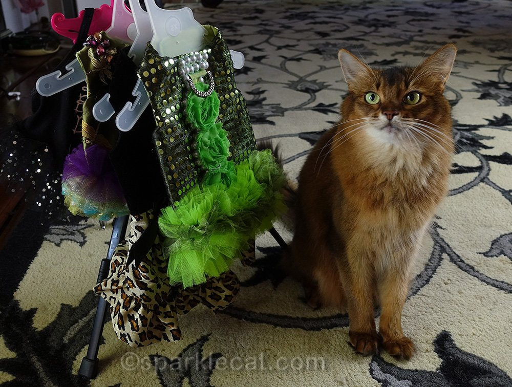 somali cat waiting for readers to pick a dress for her