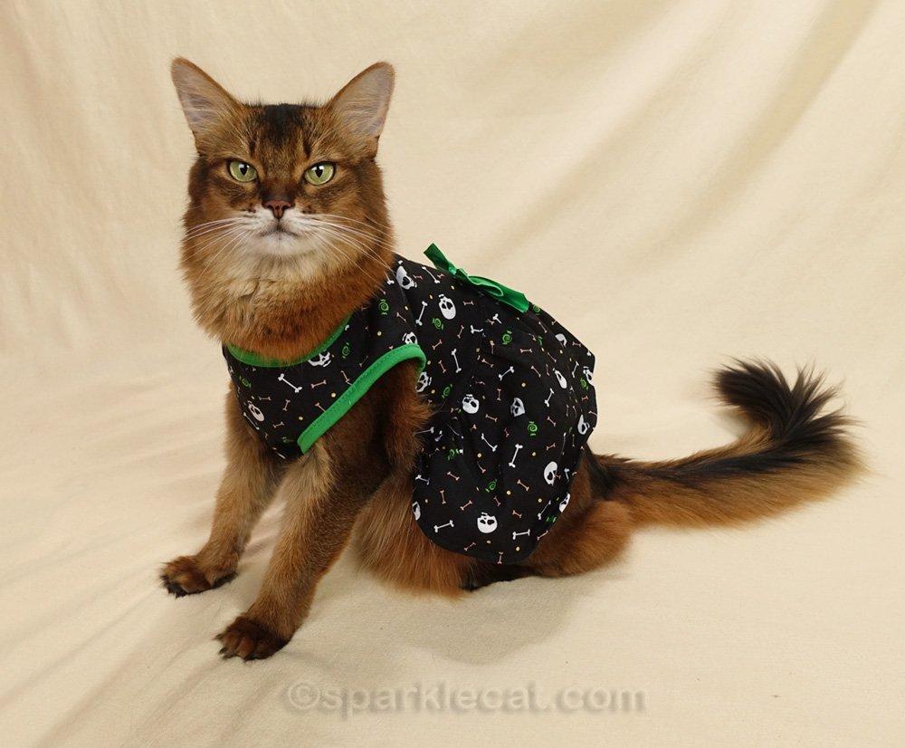 Somali cat happily modeling cat dress