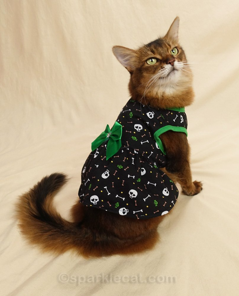 Somali cat showing off the back of her new dress