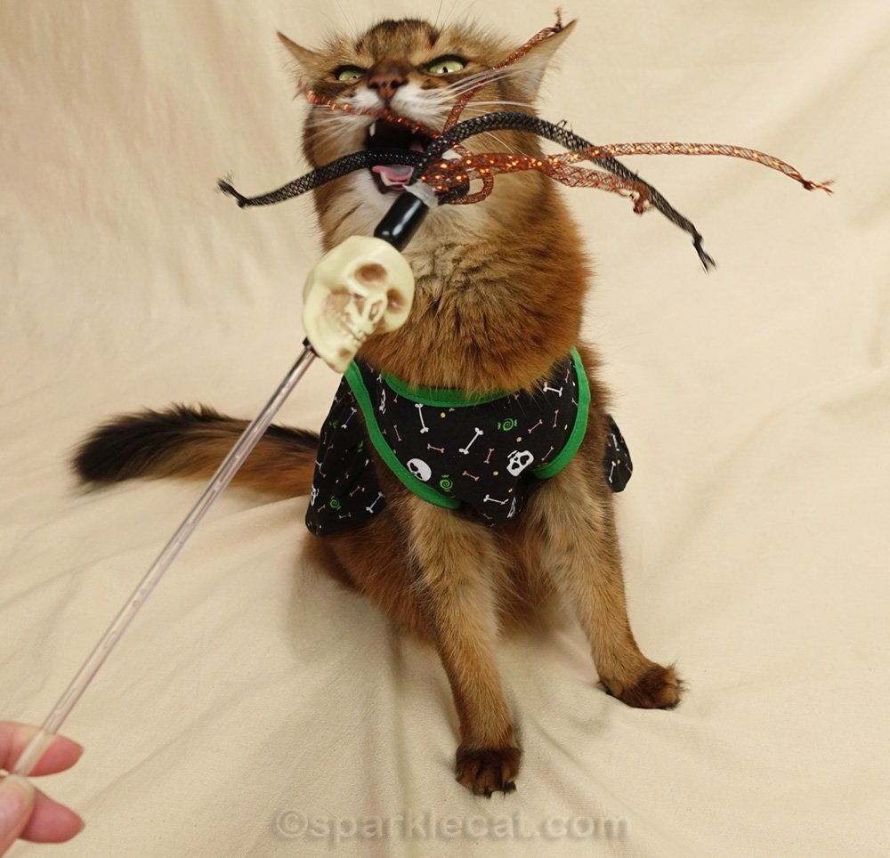 Somali cat in skull dress playing with skull cat toy