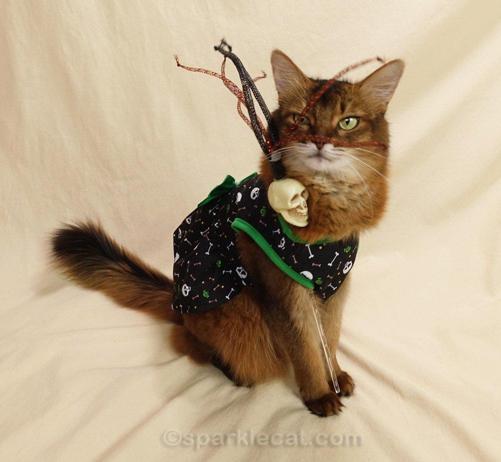 Somali cat posing in skull dress with skull cat toy