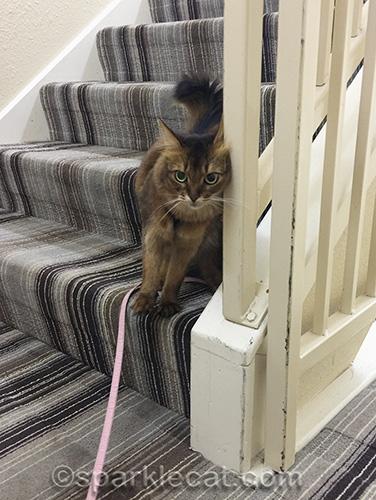somali cat leaning against hotel railing