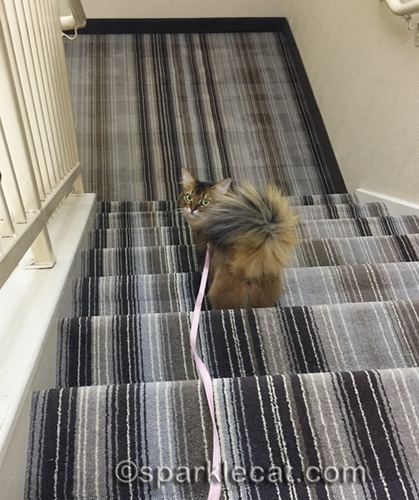 somali cat going down hotel stairs