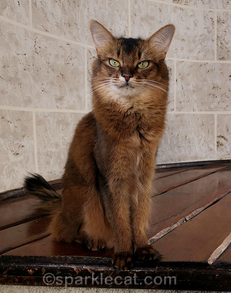 somali cat ready to talk about CatCon 2018