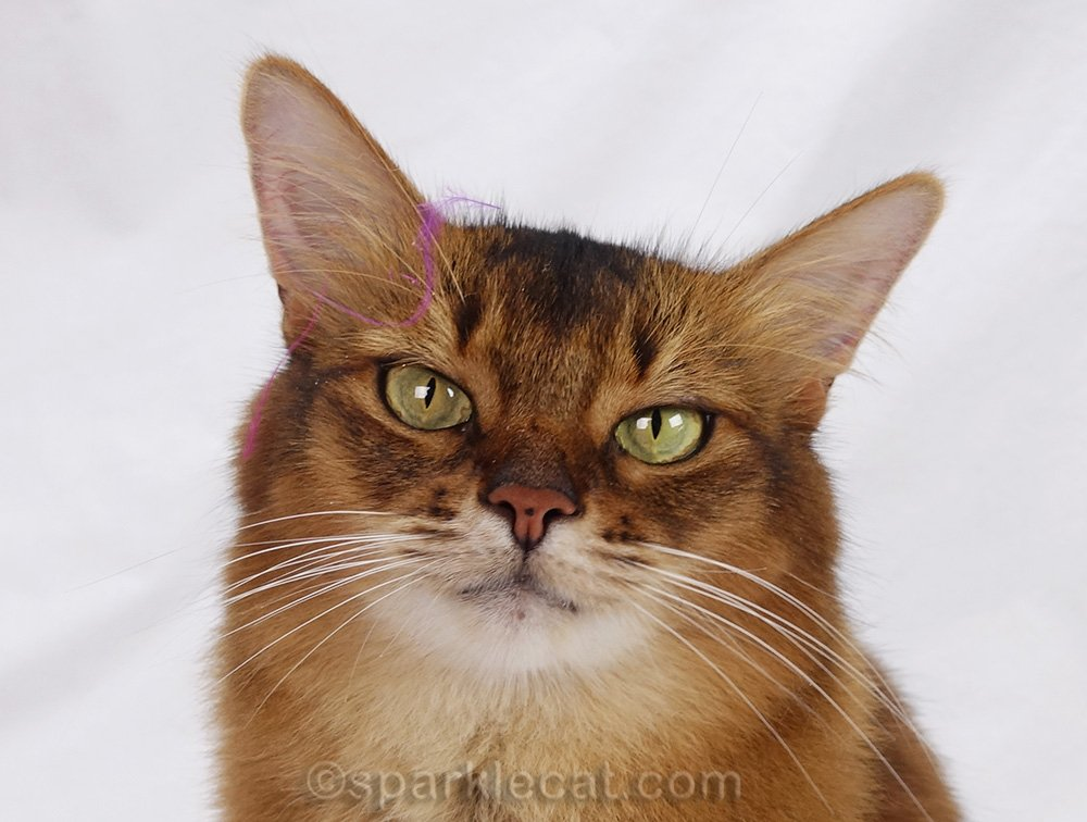 somali cat with bits of feather on her head