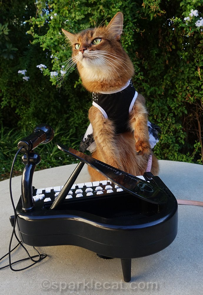 somali cat in dress playing piano like a rock star
