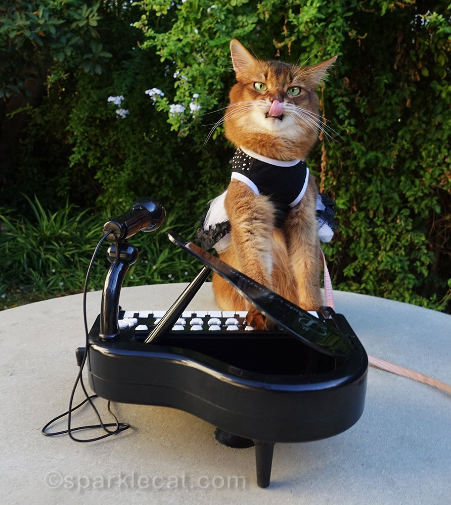 somali cat playing tiny piano with tongue out