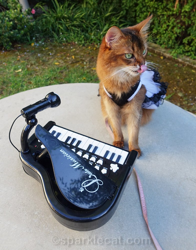 somali cat with tongue out at tiny piano