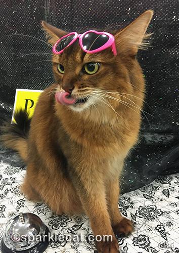 somali cat wearing sunglasses and curling tongue