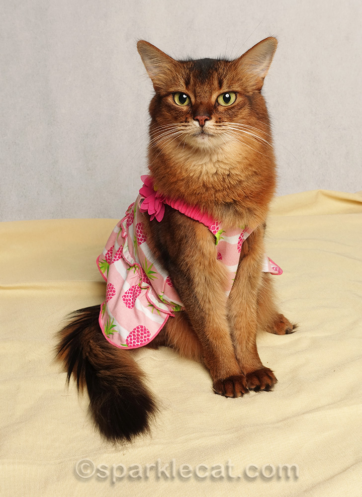 somali cat posing prettily in pineapple dress