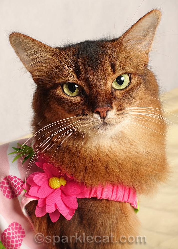 close up of somali cat in pineapple print dress