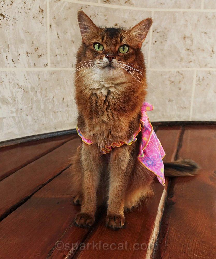 somali cat in dress from Ross