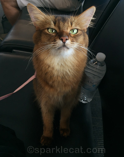 somali cat at airport looking slightly miffed