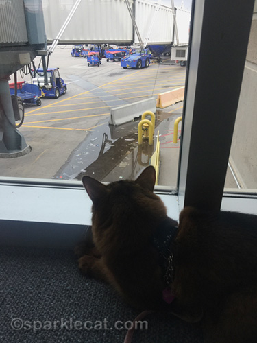 somali cat watching airport workers