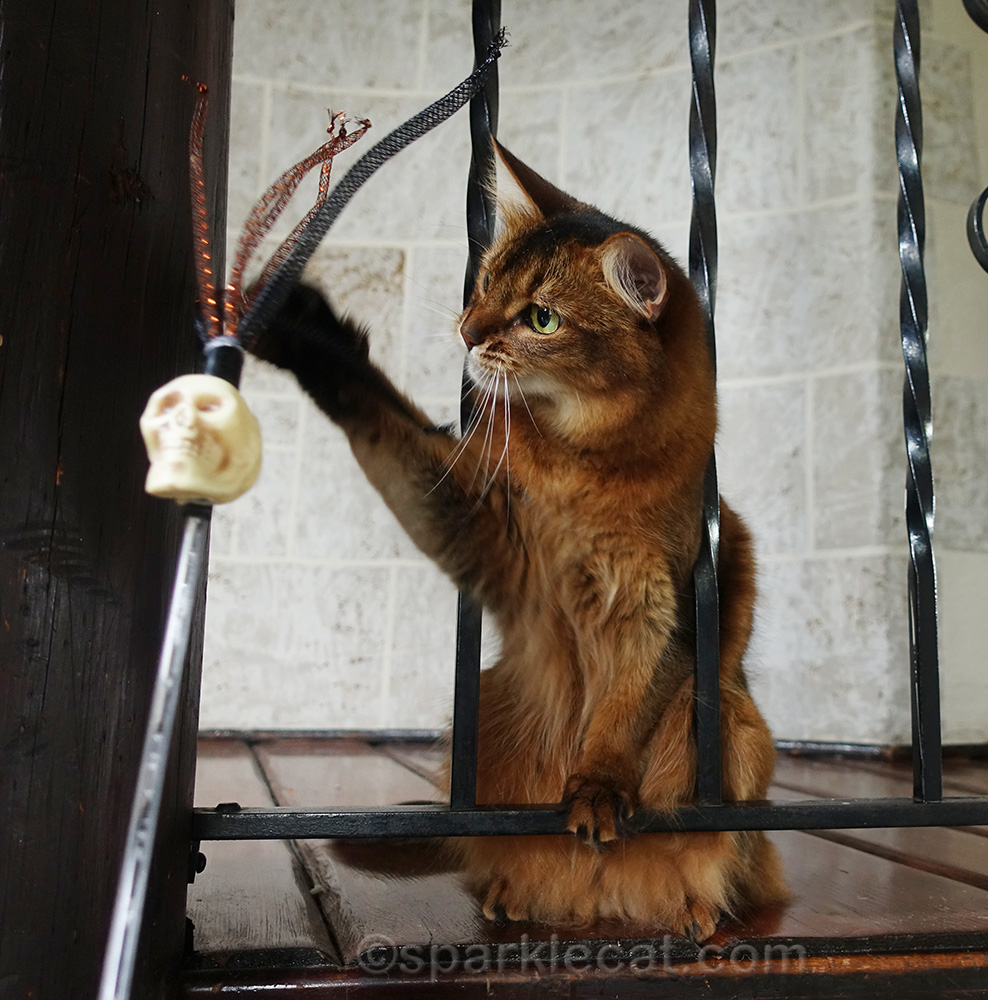somali cat playing with halloween toy