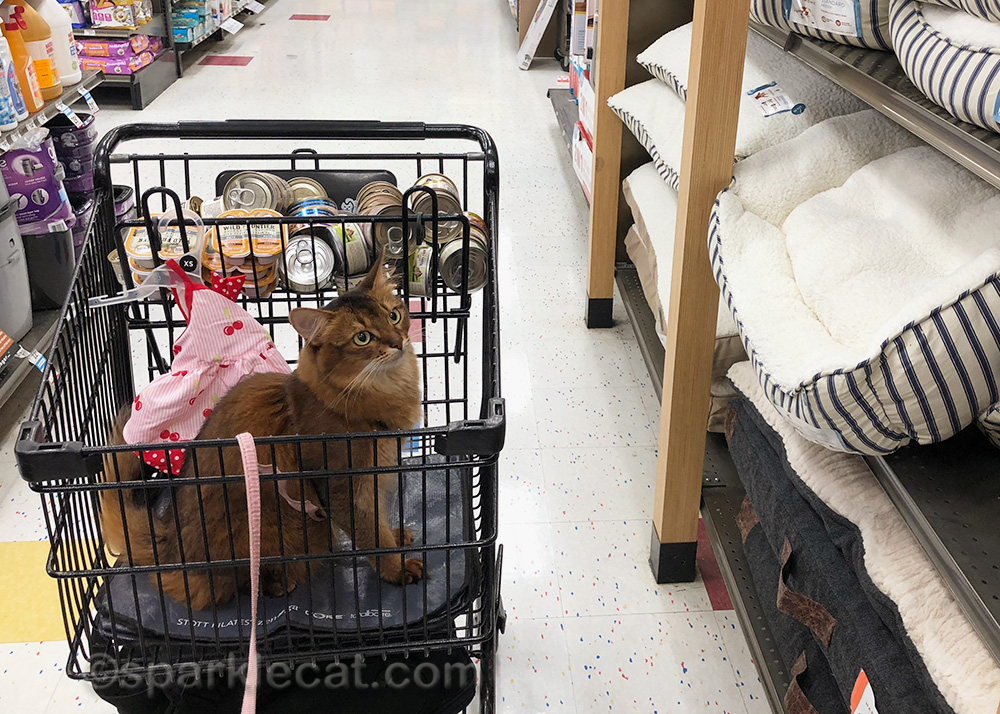 somali cat shopping at pet store