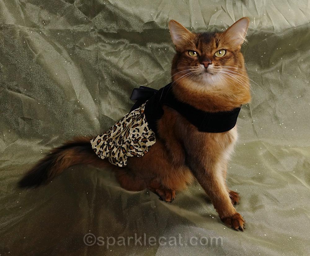 somali cat wearing a fancy dress