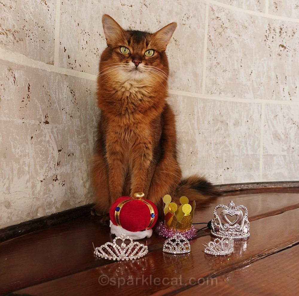 somali cat posing with her crowns and tiaras