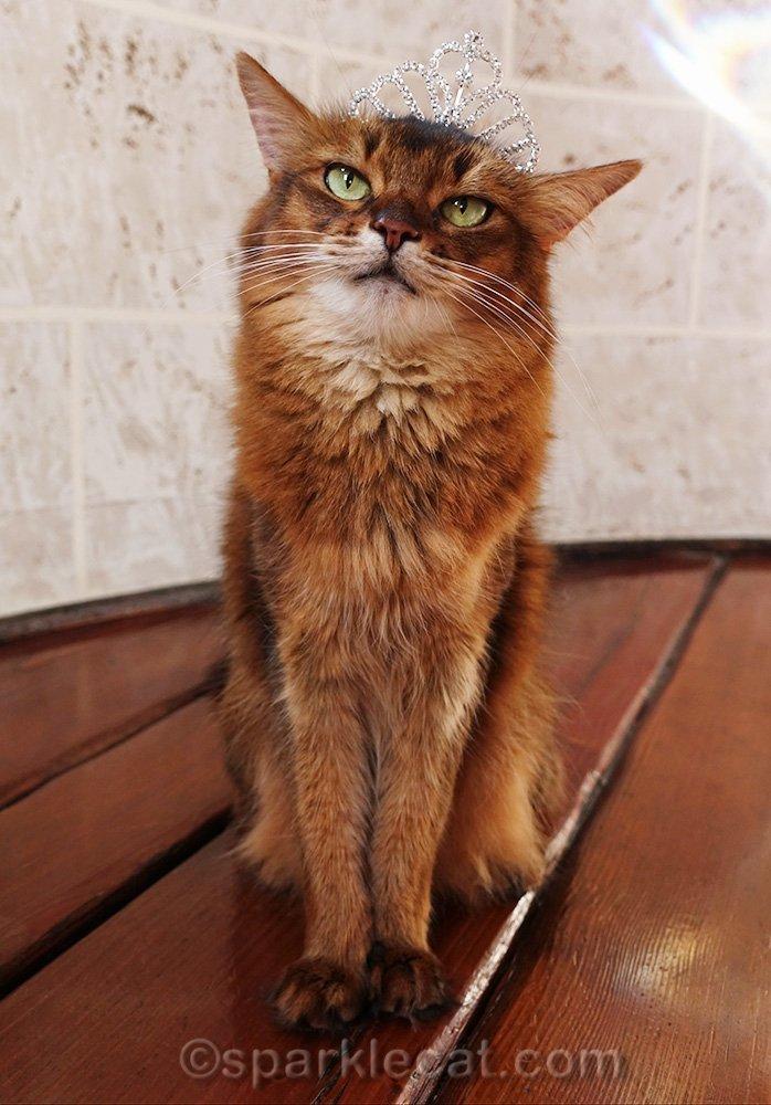 somali cat wearing larger tiara