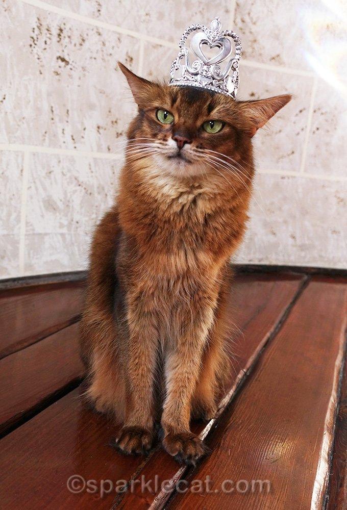 somali cat wearing plastic crown-tiara