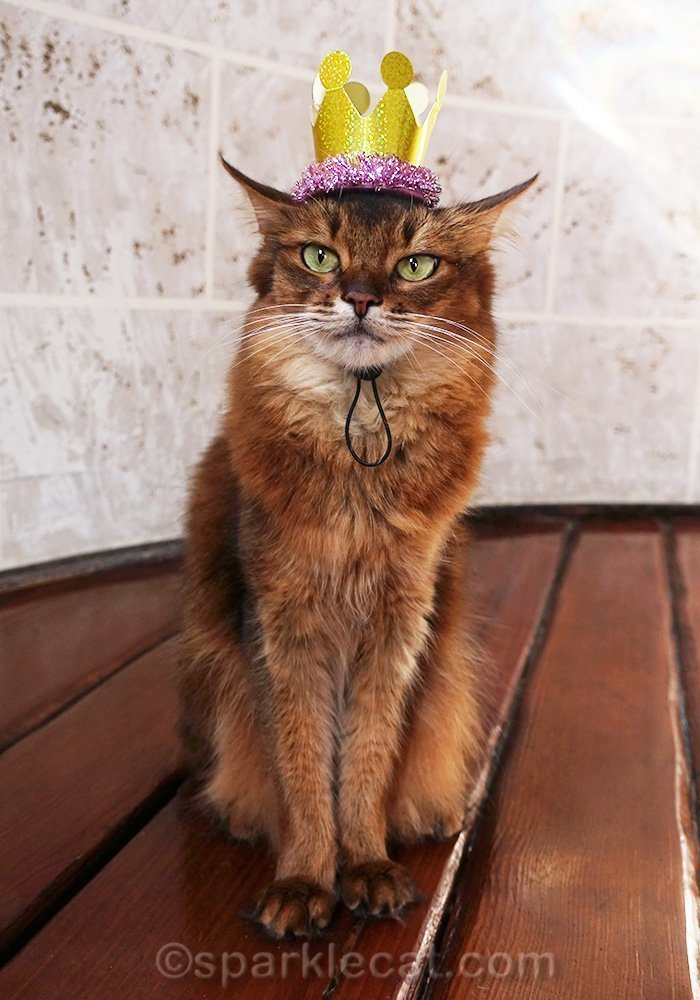 somali cat wearing cheap party favor crown