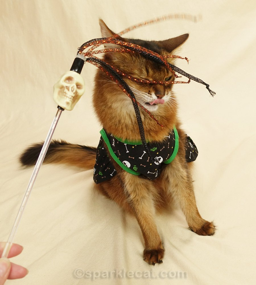 Somali cat playing with cat toy during modeling session