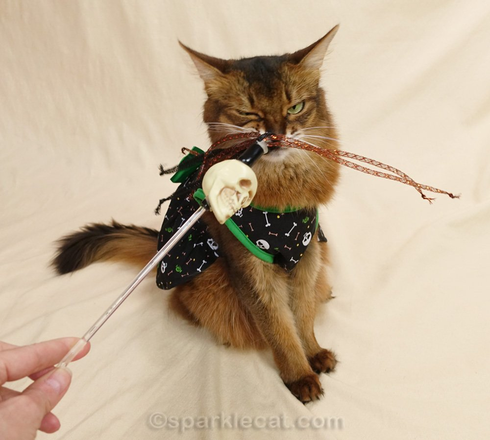 Somali cat in dress looking annoyed at cat toy