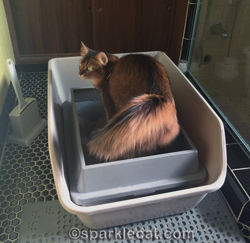 somali cat in litter box