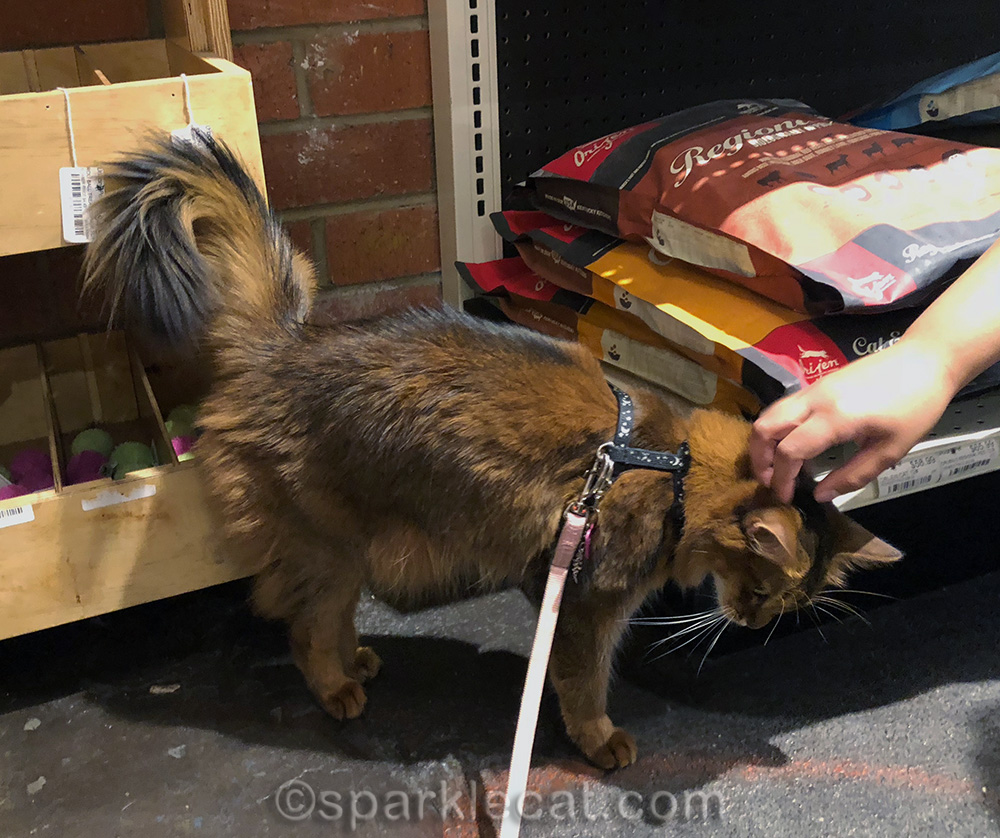 somali cat being petted by pet store employee