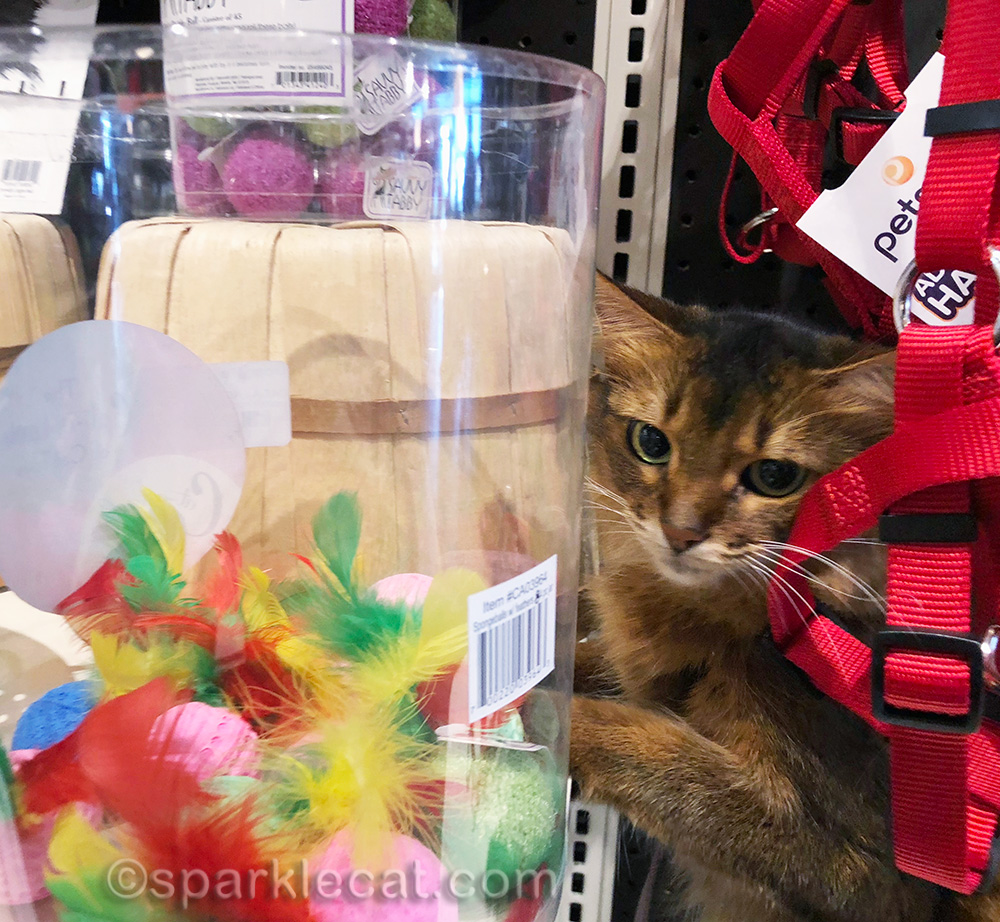 somali cat looking at jar of feather toys