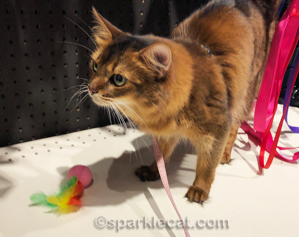 somali cat disappointed in toy she chose